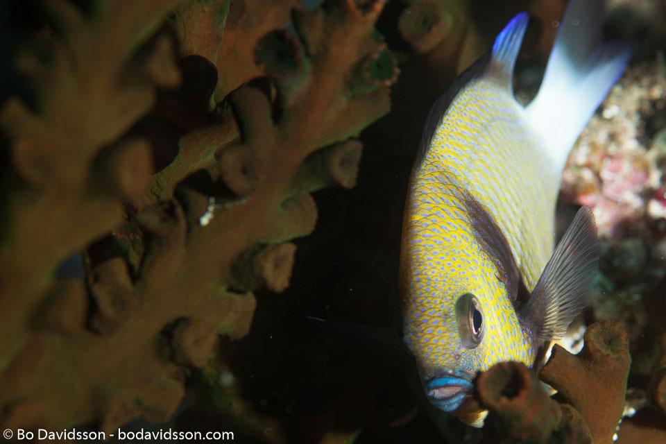 BD-130709-Maldives-9885-Dascyllus-reticulatus-(Richardson.-1846)-[Reticulated-dascyllus.-Brun-frökenfrisk].jpg